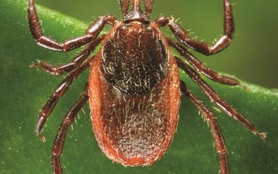 Lyme Disease–What is it?  What are the Symptoms?  How can I protect my horse?